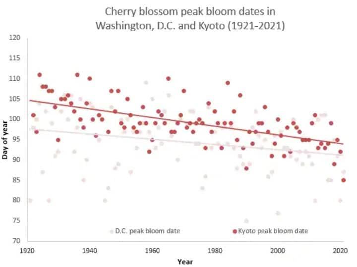 pic floraison cerisiers Washington Kyoto