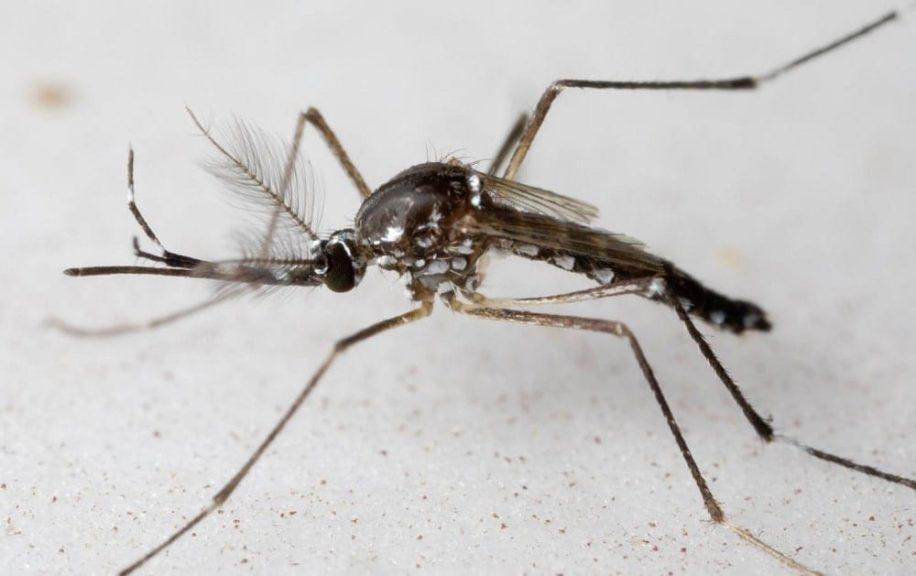 pourquoi moustiques males laissent humains tranquilles