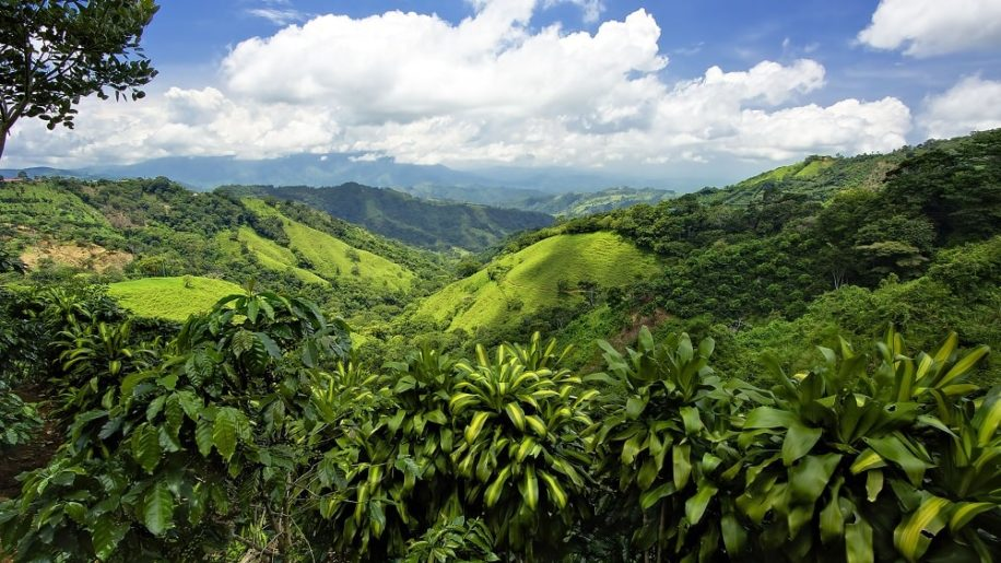 pulpe cafe permet reforestation rapide anciennes terres agricoles