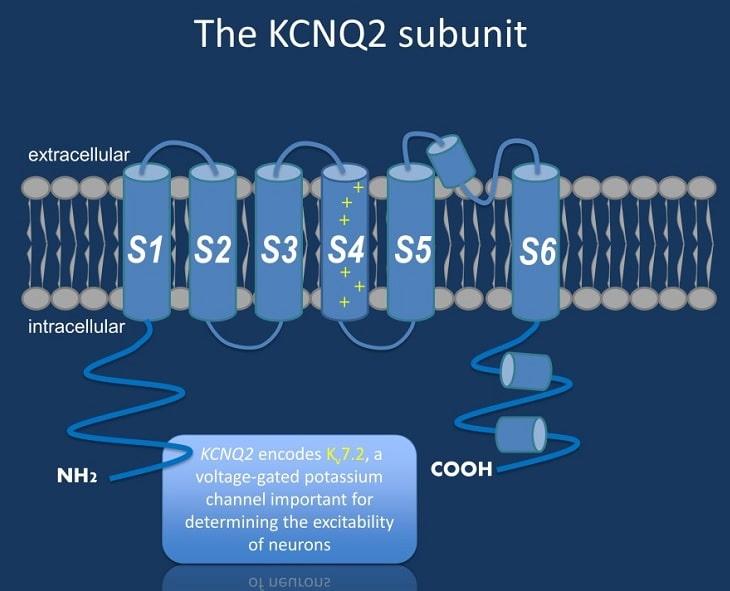 sous unite canal kcnq2