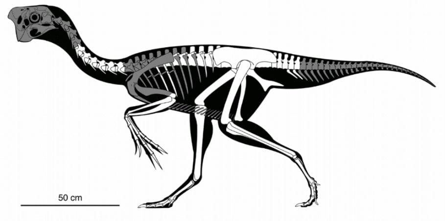 squelette oviraptor