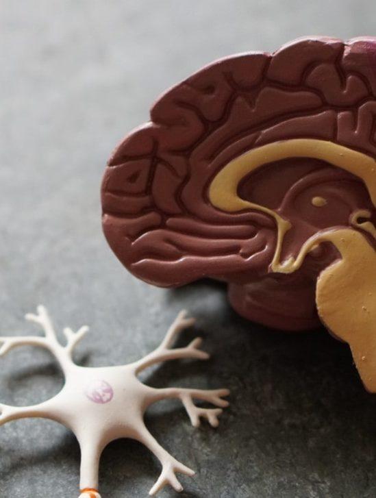 taille cerveau humain