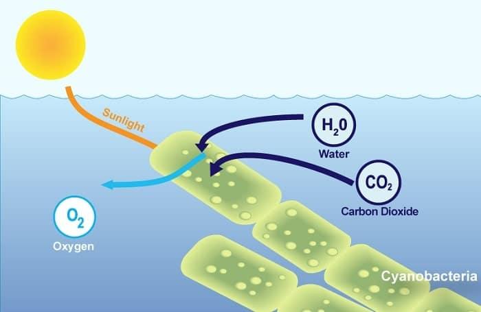 cyanobacteries photosynthese oxygene