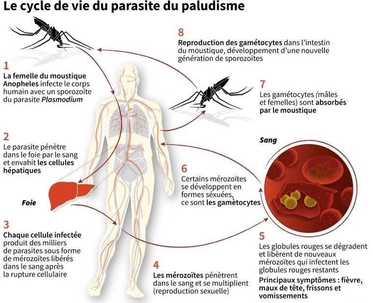 cycle vie parasite paludisme