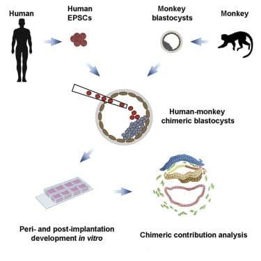Des scientifiques créent des embryons mi-homme, mi-singe