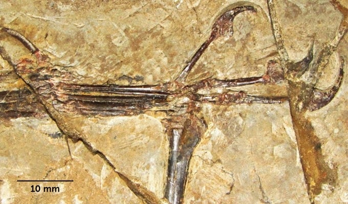 fossile pouce opposable pterosaure