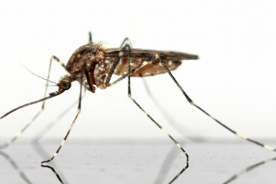 moustiques génétiquement modifiés Floride