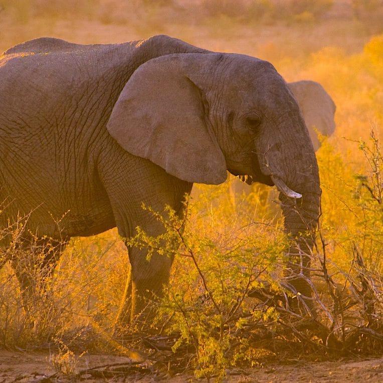 presume braconnier pietine a mort par-elephants