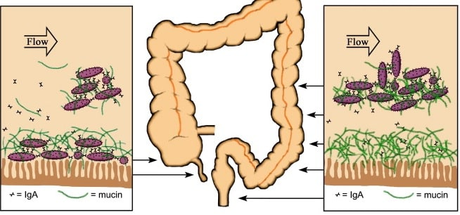 schema mecanisme immunite appendice