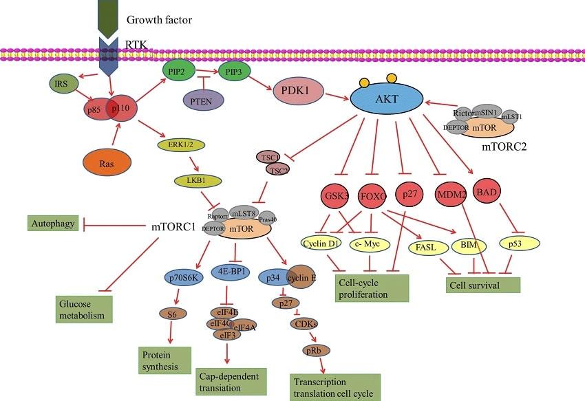 voie akt mtor cellule