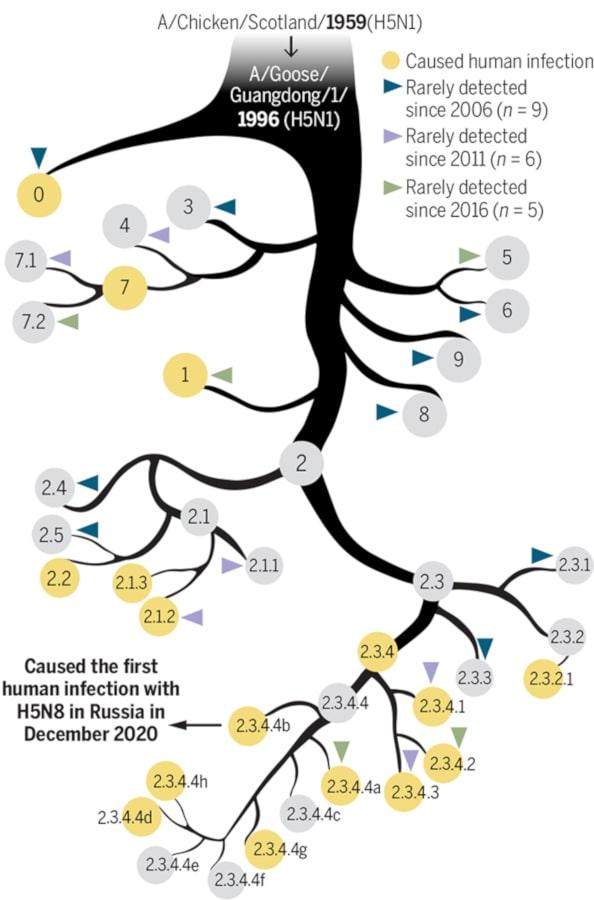 arbre phylogénétique grippe aviaire