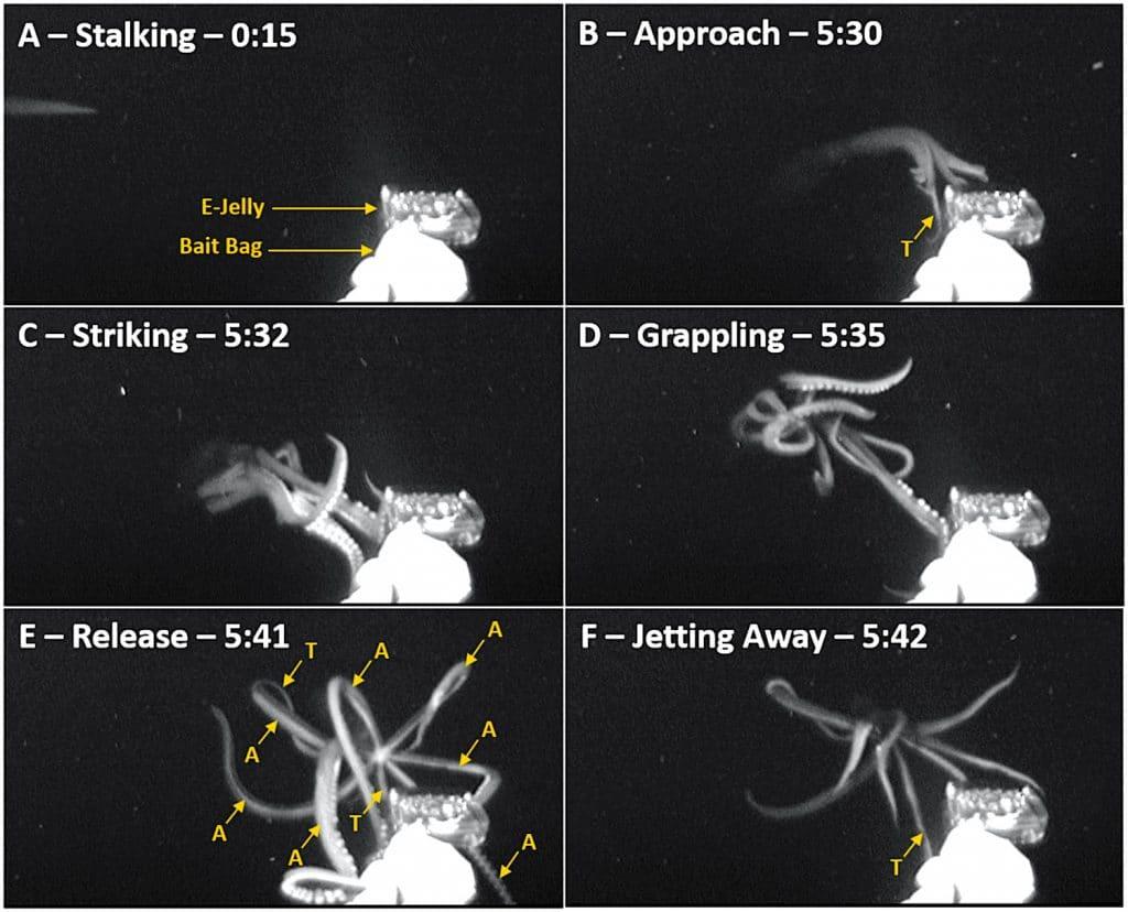 calmar geant chasse meduse leurre phases