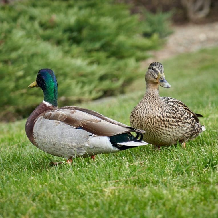 épidémie grippe aviaire H5N8
