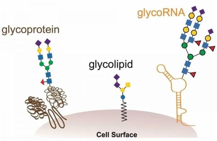 glycoARN