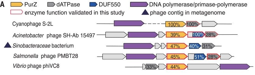 groupe genomes bacteriophages