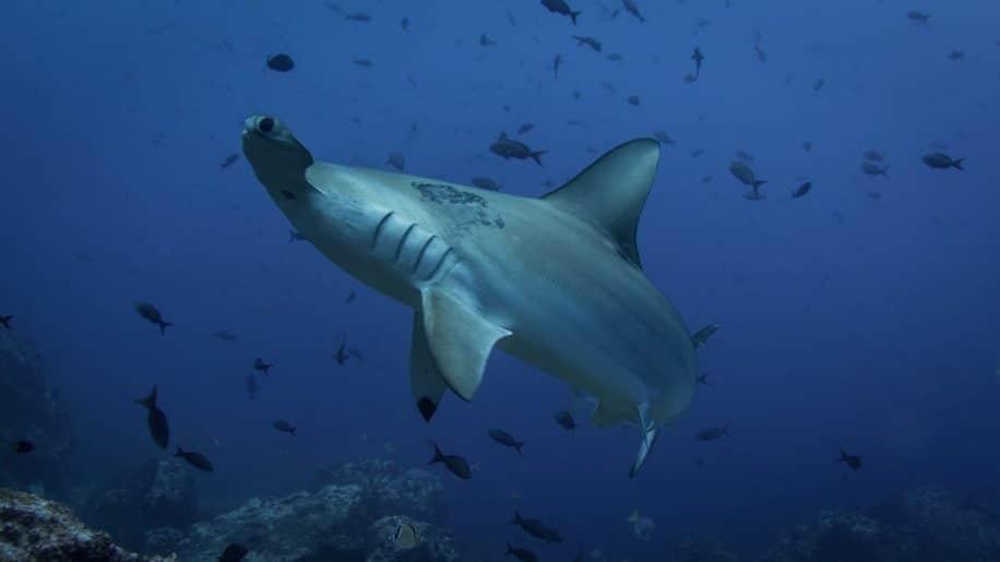 orientation requins champ magnétique