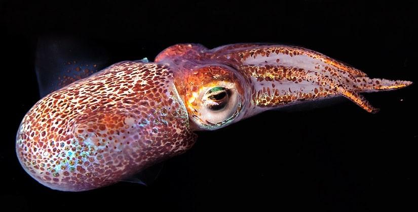 photo calmar euprymna scolopes