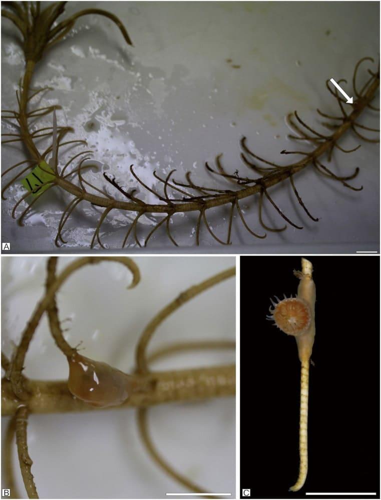 polypes coraux crinoïdes