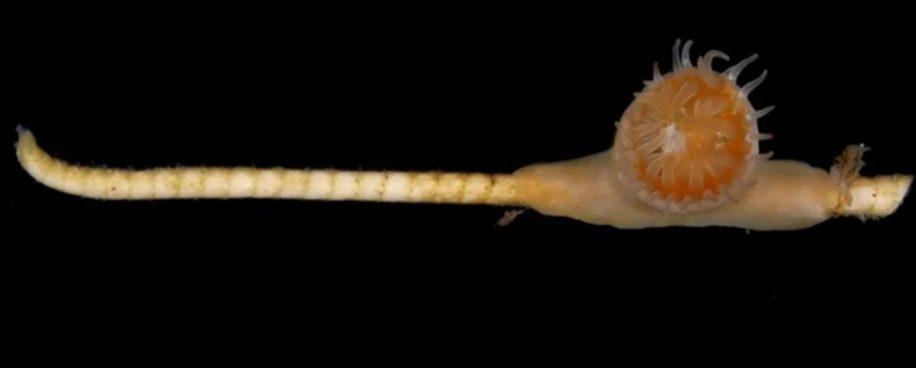 symbiose ancienne corail crinoide