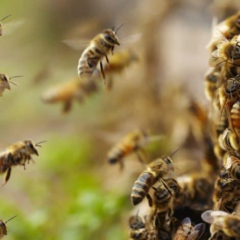 certaines abeilles produisent copies parfaites