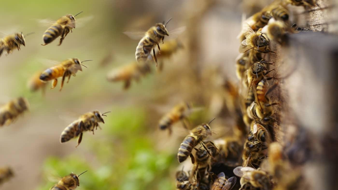 Certaines abeilles produisent des copies d'elles-mêmes génétiquement parfaites