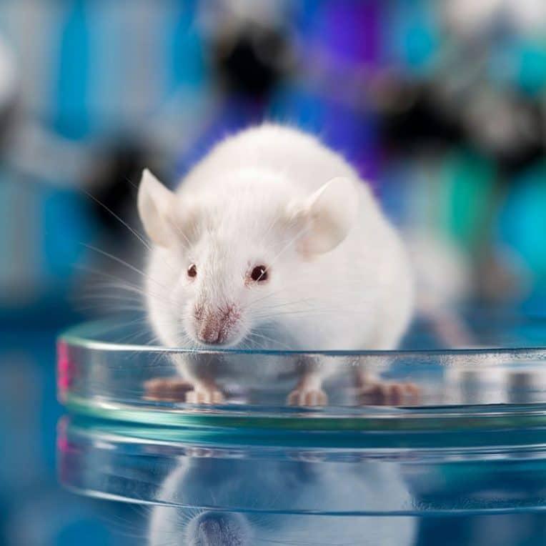 chercheurs cultivent embryon souris avec cellules souches