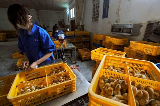 chine signale premier cas humain connu grippe aviaire h10n3