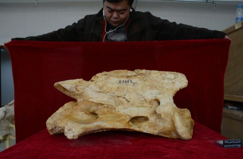fossile crâne rhinocéros géant