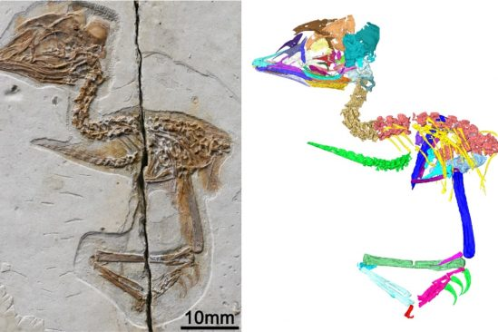 fossile oiseau dinosaure crane squelette couv