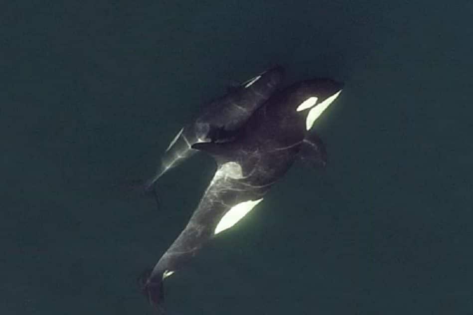 images drones motrent orques relations profondes amitie
