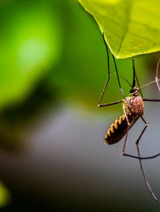lutte dengue moustiques bactérie