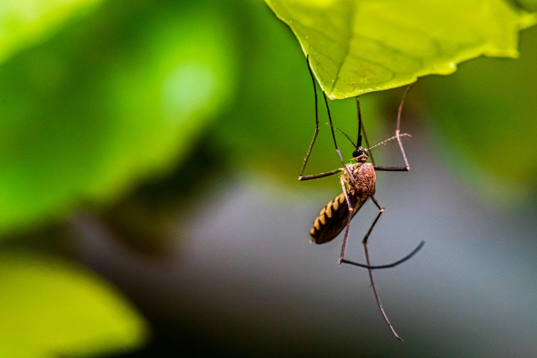 Des moustiques volontairement infectés par une bactérie ont permis de réduire les cas de dengue de 77%