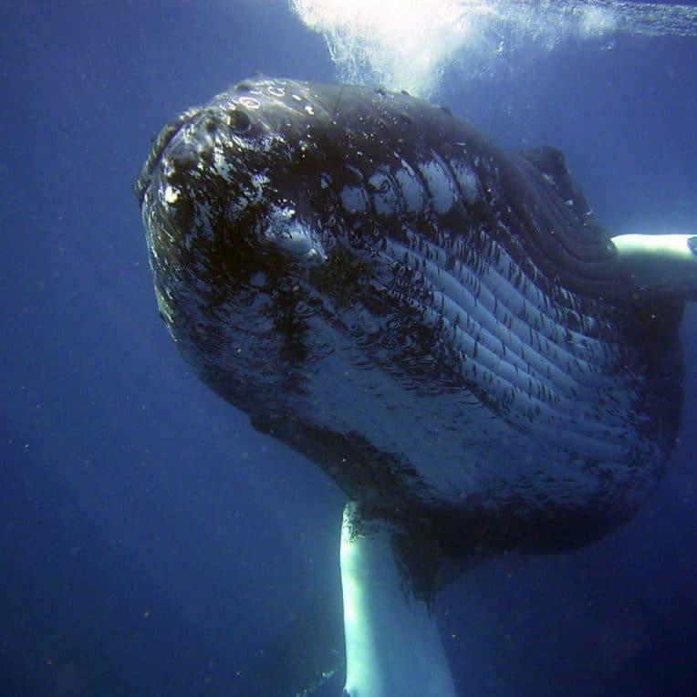 plongeur baleine à bosse