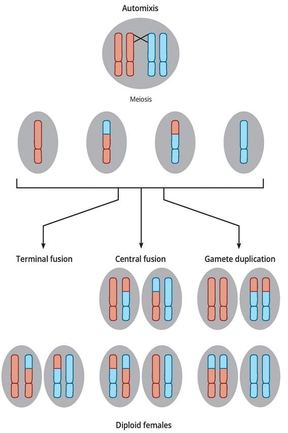 recombinaison parthenogenese thelytoque