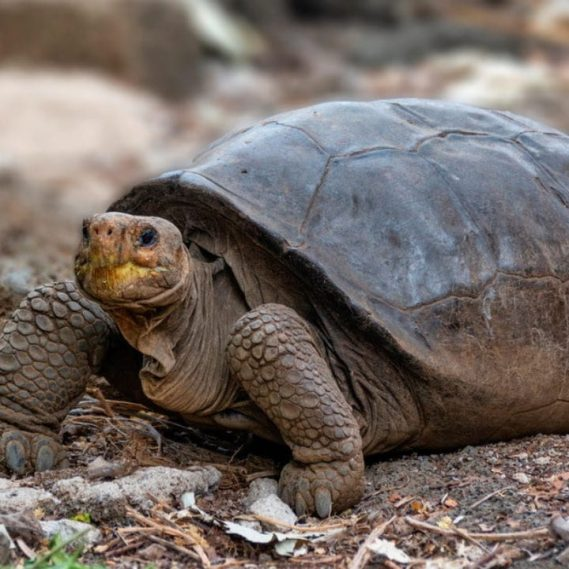 tortue geante consideree eteinte un siecle decouverte ile galapagos