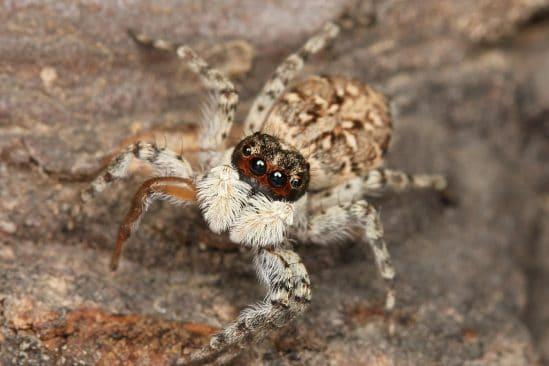 araignees sauteuses possedent capacite cognitive connue vertebres