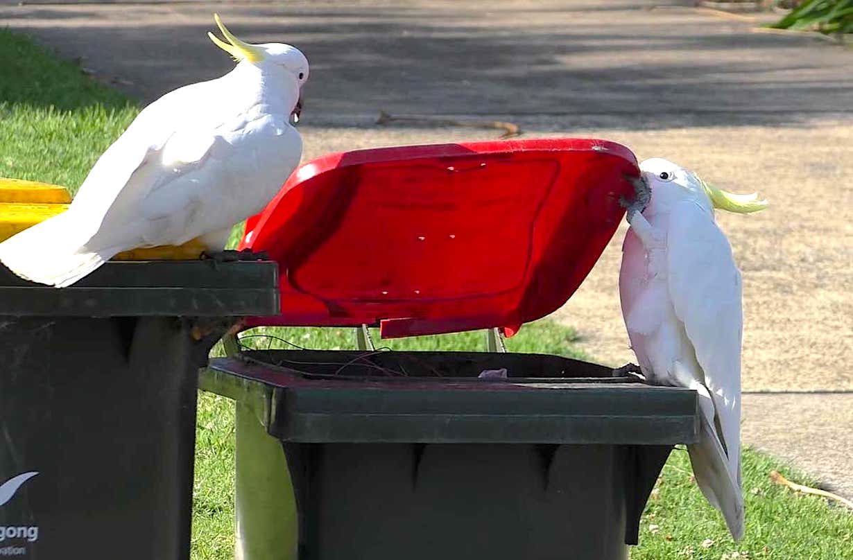 En Australie, les cacatoès découvrent comment ouvrir les poubelles en se copiant les uns les autres