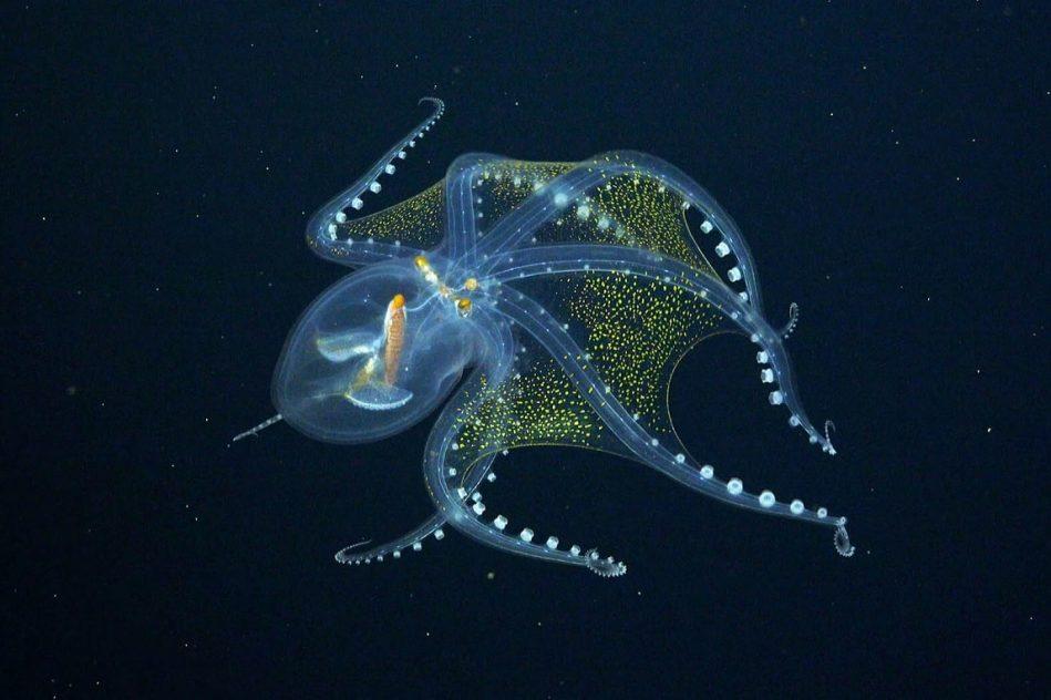 chercheurs rencontrent fascinante pieuvre verre pacifique