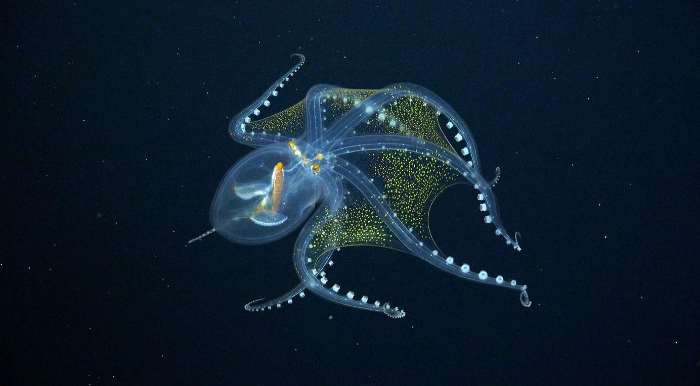 """Des chercheurs rencontrent la fascinante """"pieuvre de verre"""" au fond de l'océan Pacifique"""