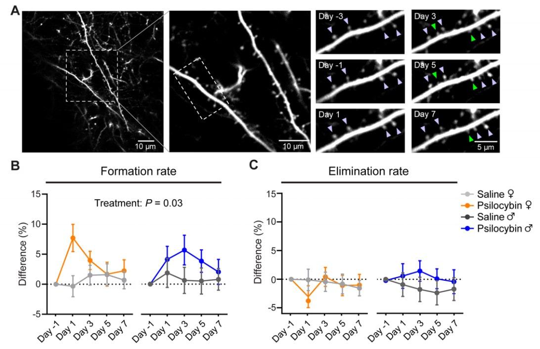 densité synaptique psilocybine