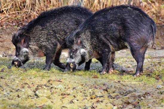 émissions CO2 cochons sauvages