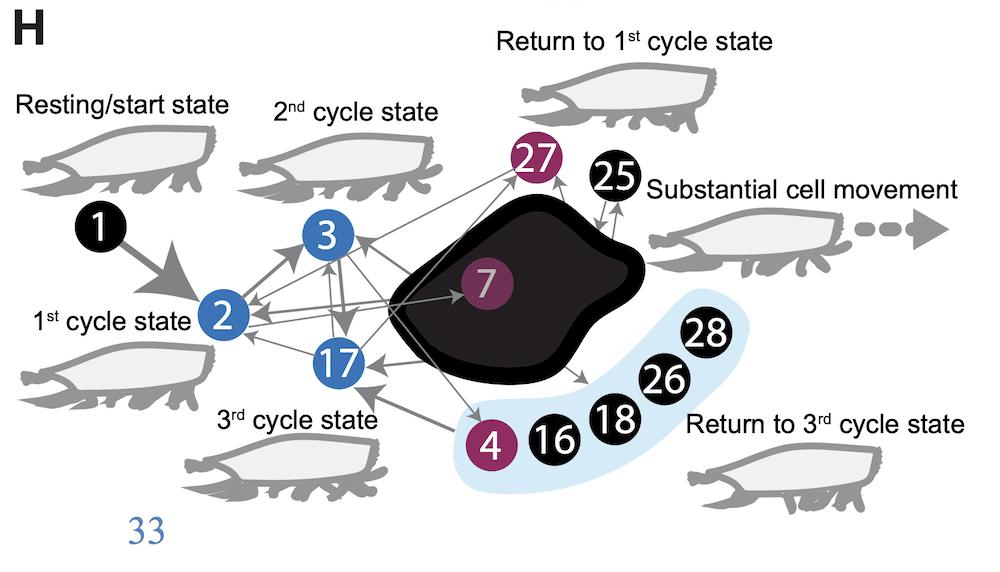mechanical process euplotes functional states