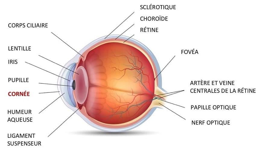 schema anatomie oeil