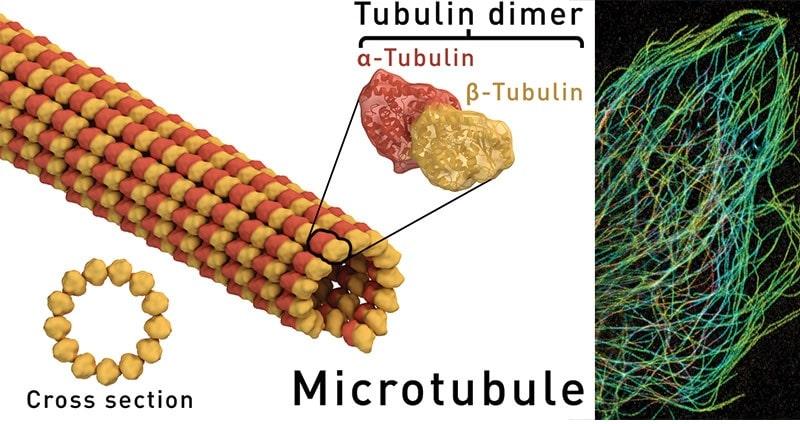schema microtubule microscopie electronique