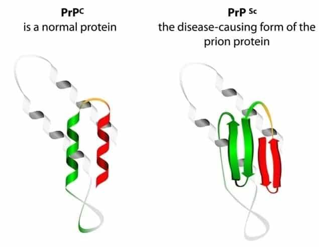 schema proteine prion