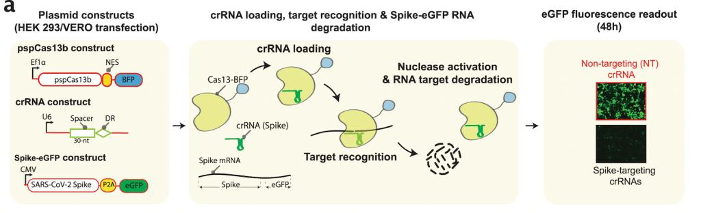 schema test utilisation crispr suivi degradation proteine pointe sars-cov-2