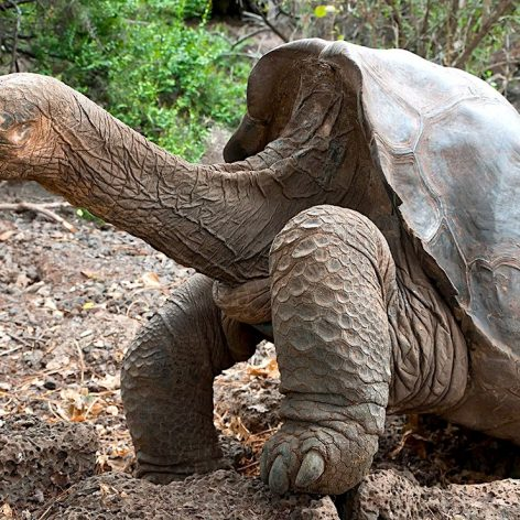 tortues geantes galapagos cacheraient cle resistance cancer