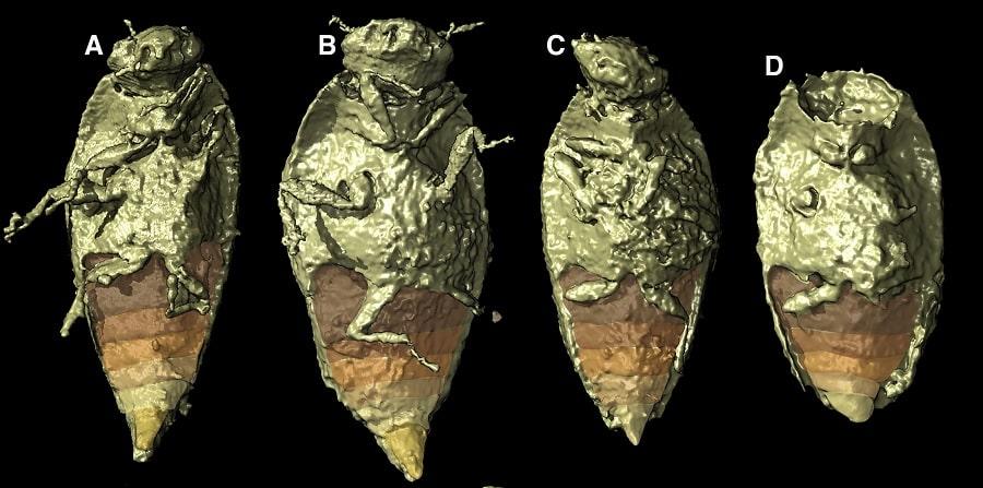 vue ventrale insecte fossilise