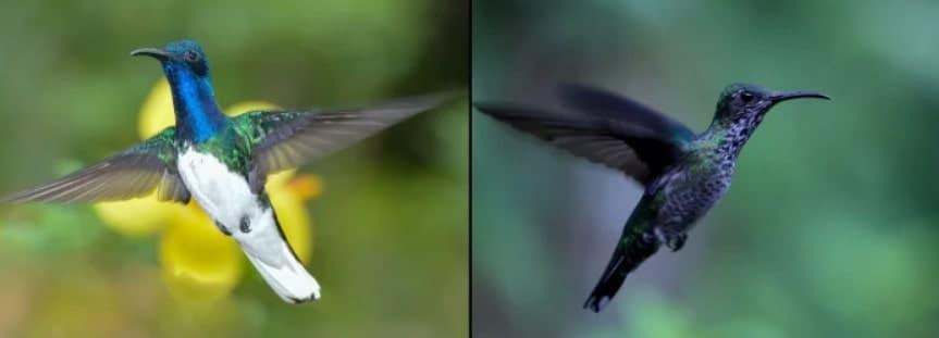 colibris jacobins mâles femelles