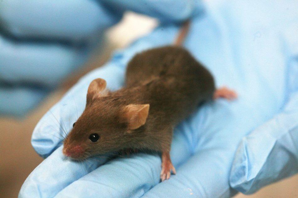 greffe microbiote vieillissement cerveau